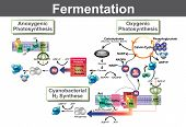 Fermentation Is A Metabolic Process That Converts Sugar To Acids, Gases Or Alcohol. It Occurs In Yea poster