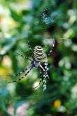 Argiope bruennichi arachnid also called tiger spider