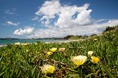 Beach With Yellow Ice Plant