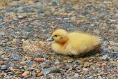 A Yellow baby Duckling