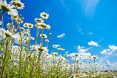 Beautiful Spring Rural Landscape With A Flowering Flowers On Meadow And Blue Sky. Wild Flowers Chamo poster
