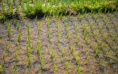 Rice Field With Green Plants. Planting Seeds In Paddle. Water On Rice Fields. Paddle Rice Growing. T poster