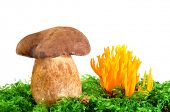 mushrooms Tylopilus felleus and Ramaria Formosa isolated on white