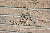 Young Lubber Grasshoppers On Wall