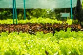 Planting Non-toxic Organic Vegetables Salad Dressings Beautiful Green Leafy Are Grown In The Garden poster