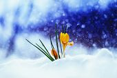Bright Beautiful Spring Flower Snowdrop Crocus Breaks Through The Snow A Holiday On A Brilliant Back poster