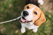 Beautiful Tricolor Puppy Of English Beagle Sitting On Green Grass. Beagle Is A Breed Of Small Hound, poster