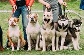 Two American Bulldog Dog, Alsatian Wolf Dog Or German Shepherd Dog And Two Husky Dog Sitting Togethe poster