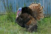 Portrait Of A Turkey Male Or Gobbler. Turkey Male Or Gobbler Closeup On A Green Grass Background. Sh poster