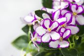 Flowering Saintpaulias, Commonly Known As African Violet. Mini Potted Plant. A Dark Background. Sele poster