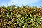 Colorful Autumn Hedge.