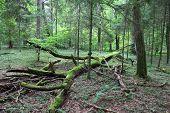 Bialowieza - Primeval Forest