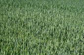 Field with green wheat