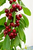 Cherries Hanging On A Cherry Tree Branch. Red And Sweet Cherries On A Branch. poster