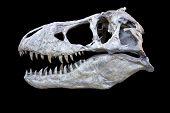 Tyrannosaurus Skull Isolated