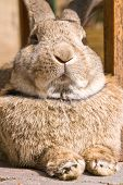 pic of thumper  - fluffy brown bunny looking like I - JPG