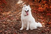 Samoyed Dog Sitting In Autumn Forest Near Red Leaves . Canine Background. Walk Dog Concept. poster