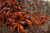 Red Crabs Lining up at Water Line on Christmas Island