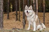 Cute purebred dog with leash waiting for his master while sitting on ground covered with dry grass i poster