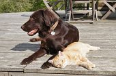 foto of cuddling  - Ginger cat cuddling up to a flat-coated retriever dog