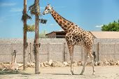 Rothschild Giraffes At Enclosure In Zoo On Sunny Day poster