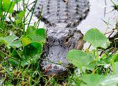 Closeup de jacaré no selvagem no Gator Park em Miami.