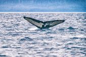 Whale tail on whale watching cruise excursion tour activity in Alaska. Humpback whale diving in sea. poster
