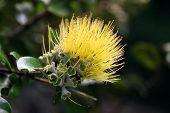 Yellow Lehua Flower