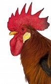 stock photo of leghorn  - Close up of Rooster Leghorn - JPG