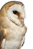 Close up of Barn Owl, Tyto alba, in front of white background