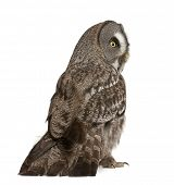 Great Grey Owl or Lapland Owl, Strix nebulosa, a very large owl, standing in front of white backgrou