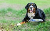 Bernese Mountain Dog with empty bowl