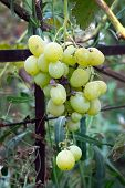 A Bunch Of Table Grapes Muscat. Green Grapes Grown In The Country. Harvest Of Grapes, The Bunch Of G poster