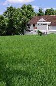 Rice Field And Farm House