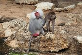 Baboon (Papio cynocephalus)With Baby