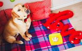 A Beautiful Labrador Dog With Cake And Colorful Interior In His Birthday. Cute Colorful Pets Concept poster