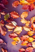 Red And Orange Autumn Leaves Floating In Purple Water, Abstract Surreal Natural Autumn Background poster