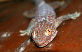 Red spotted gecko
