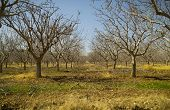 Pistachio Tree Farm In Winter