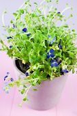 pic of lobelia  - Blue lobelia flower in pink flowerpot on pink wooden table - JPG