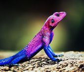 The Mwanza Flat-headed Agama on rock. Serengeti, Tanzania in Africa