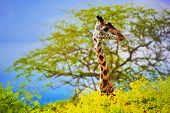 Giraffe 's head standing out from the bush. Safari in Tsavo West, Kenya, Africa