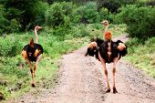 Two ostrich on road in bush in Africa. Safari in Tsavo West, Kenya