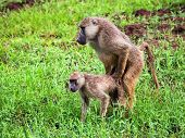 Baboon monkeys during copulation. Safari in Tsavo West, Kenya, Africa