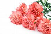 picture of six-petaled  - 6 carnation stack up with copy space - JPG