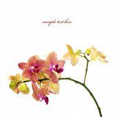 Постер, плакат: Орхидея изолированные на белом фоне с легко съемное образца текста