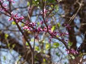 Red Buds of Spring