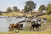 Buffallos And Cattle Coming To Water