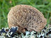 Oak Mazegill Fungus
