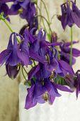 stock photo of columbine  - Columbine flowers in the white vase studio shot - JPG